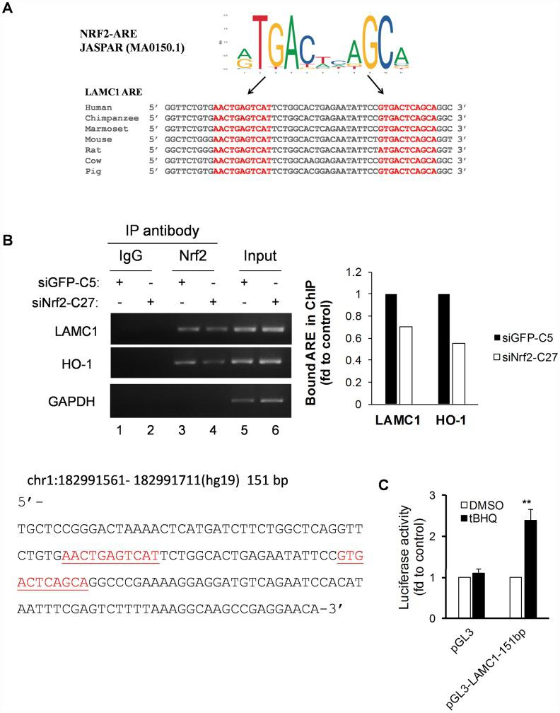 Conservative ARE analysis and luciferase reporter analysis of the LAMC1 gene. ( A ) Comparative transcription factor binding site analysis of the LAMC1 gene across different mammalian species shows highly-conserved NRF2 AREs. ( B ) Left, siNRF2-C27 and siGFP-C5 cells subjected to ChIP analysis with anti-Nrf2. Right, the relative ability of NRF2 to bind to the ARE site (value of NRF2 in siGFP-C5 cells set at 1; PCR reactions were not saturated; results are from at least 3 separate experiments; HO-1 served as positive control; GAPDH served as negative control). ( C ) tBHQ increased 151-bp LAMC1 promoter (sequence at left; red indicates ARE sequences)–luciferase activity in MCF7 cells. The plasmid <t>pGL3-LAMC1-151bp</t> was transfected into MCF7 cells in combination with pRL-TK for 24 h. Dual luciferase activity was measured after treatment with tBHQ (20 μM) for 6 h. Control, DMSO treatment for the same plasmid was set at 1 (mean ± SD, n=3; **p