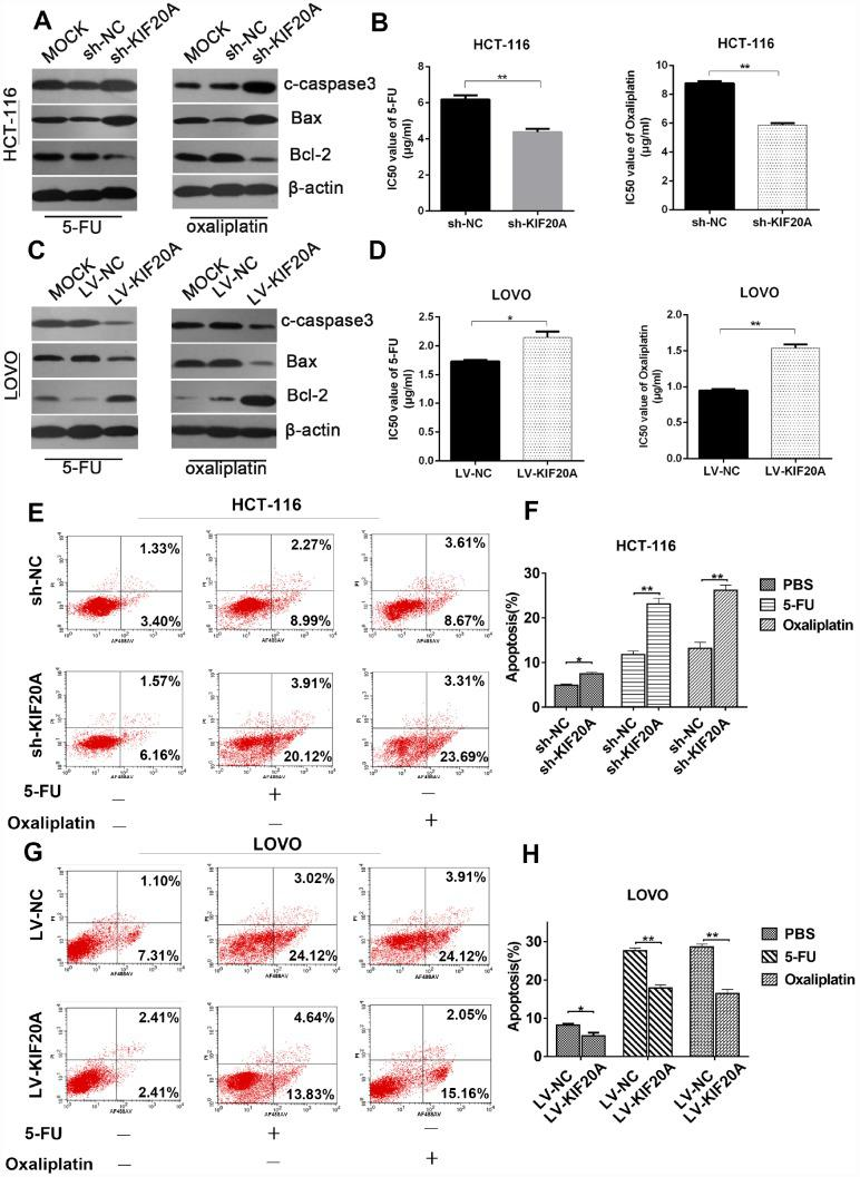 KIF20A induces chemo-resistance in CRC.  ( A ,  C ) Western blot analysis of apoptosis-related factors (cleaved-caspase 3, bax, bcl-2) in different transfected groups in HCT-116 cell line treated with 4ug/ml 5-FU (left) or 8 ug/ml oxaliplatin (right) and LOVO cell line treated with 1.5 ug/ml 5-FU (left) or 1 ug/ml oxaliplatin (right). ( B ,  D ) Cell viability was measured using CCK-8 analysis and compared between different groups with different treatments at indicated times. ( E – H ) The apoptotic rates of different transfected groups with different treatments were measured by flow cytometry. Data are presented as mean ± SEM. *P