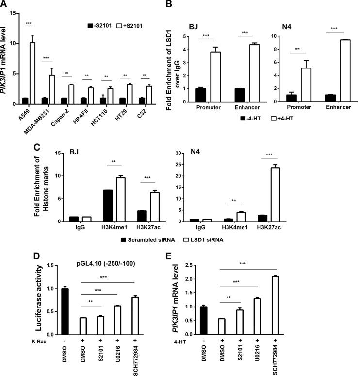 Ras activation using 4-HT increases LSD1 on PIK3IP1 enhancer and promoter regions of both BJ-H-RasV12-ER and N4-H-RasV12-ER cells. a Pharmacological inhibition of LSD1 with S2101 promoted PIK3IP1 gene expression in multiple Ras/Raf-mutant cancer cell lines. PIK3IP1 mRNA abundance in each cell line without treatment (black bars) was set to 1. b LSD1 binding to the promoter and enhancer of PIK3IP1 was enhanced by Ras activation. BJ-H-RasV12-ER and N4-H-RasV12-ER cells were treated with 4-HT for 24 h and then examined by LSD1 ChIP-qPCR. LSD1 without 4-HT (Black bar) was set to 1. c LSD1 knockdown increased activating marks at the PIK3IP1 enhancer. ChIP-qPCR analysis of indicated histone marks was performed in BJ-H-RasV12-ER and N4-H-RasV12-ER cells after LSD 1 knockdown. d PI3KIP1 promoter activity regulated by inhibitors of MEK, ERK, and LSD1. 293 T cells were co-transfected with pGL4.10-Luc (−250/−100), minimal regulatory region of promoter, and either K-Ras expression or K-Ras empty plasmids. Twenty hour after transfection, K-Ras co-transfected cells were treated with the indicated compounds. After 8 h, the cells were collected and assayed for luciferase activity. Values were normalized against luciferase activity of DMSO treated cells co-transfected with K-Ras empty plasmids. The experiments were performed in triplicate. e Relative PIK3IP1 mRNA expression by qPCR analysis in BJ-H-RasV12-ER cells were treated the indicated compounds with or without 4-HT for 24 h. PIK3IP1 expression without 4-HT was set to 1. Inhibitors and their concentrations used in d and e : LSD1 inhibitor (S2101, 20 μM), MEK inhibitor (U0126, 10 μM), and ERK inhibitor (SCH772984, 1 μM). Data were presented as the means ± SD of three independent experiments. ** p