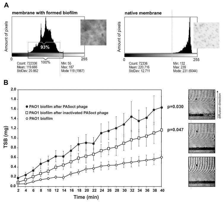 Real time measurement of biofilm permeability, after 4 h of phage treatment. ( A ) Membrane coverage analysis by crystal violet (CV) staining and ImageJ imaging software. Native membrane was used as a control. ( B ) Laser interferometry analysis of <t>trypticase-soy</t> broth (TSB) medium diffusion through PAO1 biofilm treated with PA5oct phage. Untreated biofilm was used as a control. Error bars denote SD. The results displayed are the mean of three independent experiments. Statistical analysis was made by the ANOVA test to compare data of treated biofilm versus control native biofilm at 40 min time point. The examples of interferograms (40 min) for PAO1 biofilm treated with active and inactivated PA5oct phages as well as control (from the top of a right-hand panel).