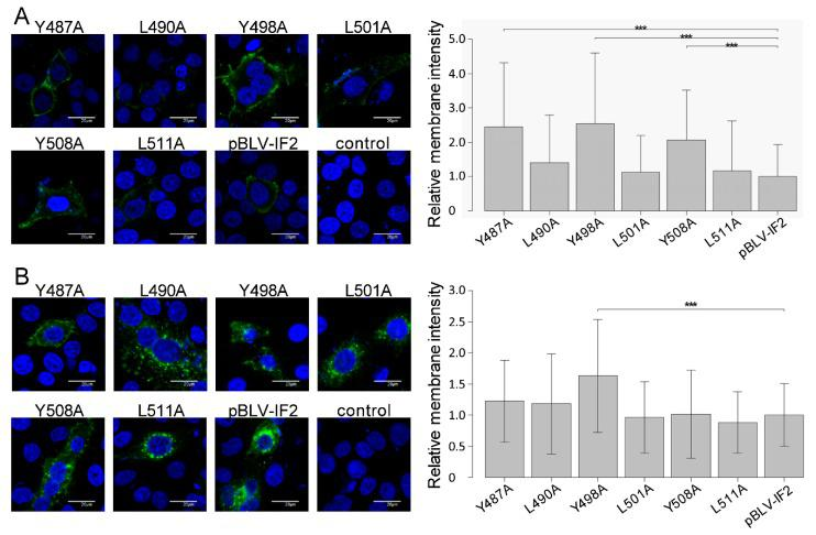 Effect on the localization of gp51 by mutant forms of the infectious molecular clone pBLV-IF2. HeLa cells (1.0 × 10 5 ) were seeded on a coverslip in a 12 well plate the day prior to transfection and transfected with 2 µg of either wild-type pBLV-IF2, mutant pBLV-IF2, or control pBluescript II SK (−) using 8 μL of FuGENE HD. The transfection efficiency was similar among all mutant pBLV-IF2s as evaluated according to the ratio of GFP-expressing HeLa cells determined via FACSCalibur™ flow cytometry. ( A ) To detect cell surface gp51, cells were fixed and stained with anti-gp51 MAb, followed by Alexa Fluor 488-conjugated anti-Mouse IgG, then stained with Hoechst 33342 and observed using an FV-1000 fluorescence microscope (right panel). ( B ) To detect intracellular Env protein, cells were fixed, permeabilized with 0.5% Triton X-100, stained with anti-BLVgp51 MAb followed by Alexa Fluor 488-conjugated anti-Mouse IgG, and observed using an FV-1000 fluorescence microscope (right panel). ( A , B ) Fluorescence intensity maps were plotted for linear transects drawn through the nuclei by line scan measurements through each cell using FV10-ASW 4.02 microscope software, and fluorescence intensities on the cell surface were measured. The width of each line was thinner than 1 pixel. Peak membrane intensity was normalized by the mean intensity of pBLV-IF2 for each experiment. The results show the relative intensities of at least 50 cells expressing gp51 over seven independent experiments. Each column and error bar represents the mean ± SD of intensity for all cells. All values were analyzed by two-way ANOVA with Dunnett's test. The asterisk indicates a statistically significant difference (* p