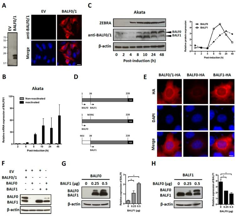 Characterization of BALF0 and BALF1 expression. ( A ) Characterization of rabbit anti-sera against BALF0/1. HeLa cells were transfected with a plasmid encoding for BALF0/1 (pcDNA3.1-BALF0/1-HA) or corresponding negative control (empty vector, EV). BALF0/1 expression was analyzed at 48 h post-transfection (p.t.) by immunoblot (left panel) and immunofluorescence (right panel) using rabbit anti-sera directed against BALF0/1. Scale bar = 20 µm. Two polypeptides whose relative mobility following SDS-PAGE corresponded to the predicted size of BALF0 (26 kDa) and BALF1 (22 kDa) were detected by immunoblot. ( B ) Time-course accumulation of BALF0/1 mRNA in reactivated Akata cells. Akata cells were reactivated by cross-linking of surface immunoglobulin for 2 to 48 h. At the indicated time post-reactivation, mRNA encoding for BALF0/1 was quantified by qRT-PCR. ( C ) BALF0 and BALF1 protein expression in reactivated Akata cells. Total protein was extracted from Akata cells as described in ( B ) and analyzed by immunoblot (left panel) using rabbit anti-sera against BALF0/1. Immediate-early protein ZEBRA was used as a marker for viral reactivation. Relative expression of BALF0 and BALF1 was analyzed using ImageJ (right panel) and compared to β-actin loading control at each time point. ( D ) Schematic diagram of expression vectors encoding for BALF0/1 (pcDNA3.1-BALF0/1-HA), BALF0 (pcDNA3.1-BALF0-HA), and BALF1 (pcDNA3.1-BALF1-HA). BALF0 and BALF1 alone were obtained by replacing the methionine at amino acid 39 and 1 with glycine and isoleucine, respectively. ( E ) Immunofluorescence staining of HA-tagged BALF0/1, BALF0, and BALF1. HeLa cells were analyzed 24 h p.t. by immunofluorescence using an anti-HA antibody. Scale bar = 10 µm. ( F ) Immunoblot analysis of BALF0/1, BALF0, and BALF1. HeLa cells were co-transfected with 0.25 μg of each indicated plasmid for a total plasmid amount of 0.5 μg. Protein expression was analyzed 48 h p.t. by immunoblot using rabbit anti-sera against BA