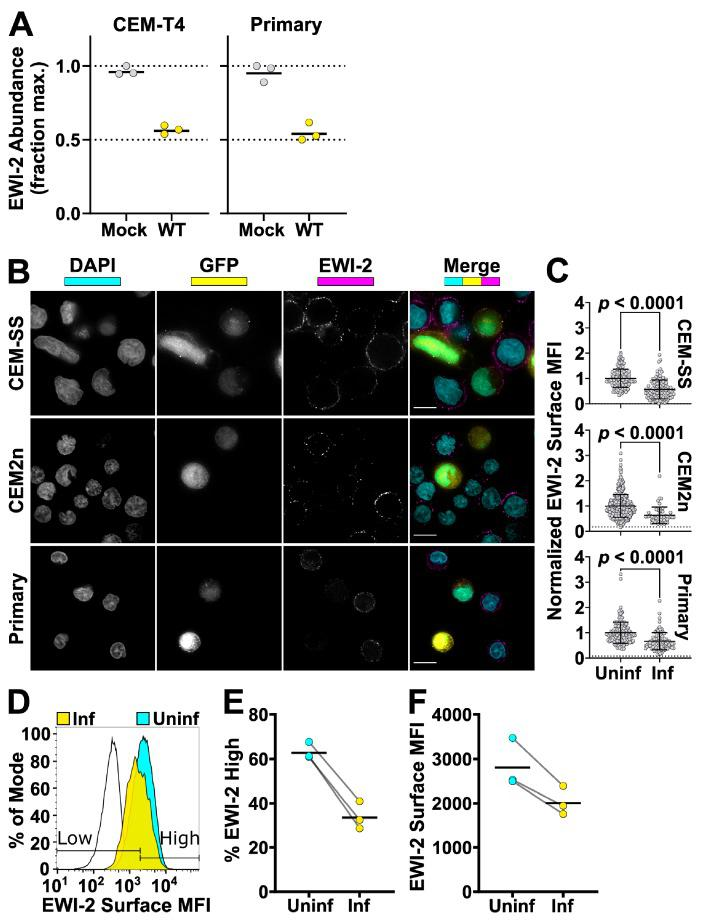 EWI-2 is downregulated from the surface of infected cells. ( A ) Abundance of EWI-2 in mock-infected (grey) versus WT HIV-infected (yellow) CEM-T4 T cells or primary human CD4 + T cells. Experiments were conducted in triplicate and whole cell lysates subjected to Tandem Mass Tag (TMT)-based quantitative proteomics 48 h after infection (reanalysis of data from [ 50 , 51 ]). Seven (CEM-T4 T cells) or six (primary human CD4+ T cells) unique peptides were used for EWI-2 quantitation. Mean relative abundances (fraction of maximum TMT reporter ion intensity) shown. ( B ) Cells were infected with NL-sfGI and surface-labeled for EWI-2, fixed, stained with DAPI (shown in cyan) and <t>Alexa</t> Fluor 594-conjugated secondary antibody, and imaged. GFP signal (yellow) was used to identify infected cells, and EWI-2-associated signal is shown pseudocolored in magenta. Representative cells are shown. Scale bars = 10 µm. ( C ) Cells were prepared as in ( B ) and EWI-2 levels at the plasma membrane in infected (Inf) and uninfected (Uninf) cells were measured by manually selecting the plasma membrane at the midline of each cell and quantifying the mean EWI-2-associated fluorescence intensity. Fluorescence intensity of each cell was normalized to the average intensity value of uninfected cells within the same imaging set. Data shown are pooled from two to three biological replicates, each consisting of two technical replicates. Only non-contact sites were quantified. Error bars = SD. p -values are the result of a two-tailed non-parametric Mann-Whitney U test. (C-E) CEM2n cells were infected with NL-sfGI and surface-labeled for EWI-2, fixed, and stained with Alexa Fluor 647-conjugated secondary antibody, and analyzed by flow cytometry. ( D ) Representative histogram normalized to mode of the EWI-2 signal intensity at the cell surface for unstained controls (black outline), infected cells (yellow), and uninfected cells (cyan). The gates defining EWI-2 high and EWI-2 low cells are shown.