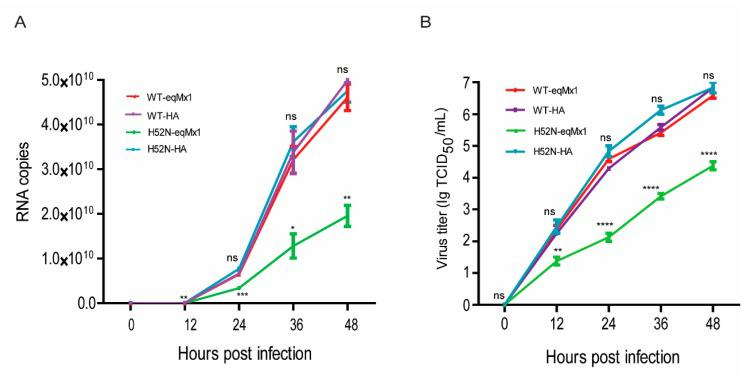 The replication abilities of viruses with different NPs underexpression of eqMx1. ( A ) MDCK cells expressing HA-tagged eqMx1 were infected with wild type (H3N8 JL89 ) or mutant viruses (H3N8 JL89- H52N-NP) at an MOI of 0.001 and the supernatants were collected at 0, 12, 24, 36, and 48 hr post-infection. Total RNA from the collected supernatants was extracted using the RNeasy plus mini kit (Qiagen) and subjected to one-step real-time quantitative <t>PCR</t> <t>(qPCR)</t> analysis using the AgPath-ID™ One-Step RT-PCR reagents according to manufacturer's protocol. Relative mRNA expression levels were determined using double-standard curve methods. All the experiments were performed three times and with three replicates with means ± SE shown. ( B ) MDCK cells expressing eqMx1 were infected with wild type (H3N8 JL89 ) or mutant viruses (H3N8 JL89 -H52N-NP) at an MOI of 0.001 and the supernatants were collected at 0, 12, 24, 36, and 48 hr post-infection. These supernatants were subsequently used to infect MDCK cells at different dilutions (10 −1 to 10 −11 ) with at least four repeats. 48 hr post-infection, immunofluorescence assays (IFA) were performed using specific antibodies against viral NP (from our lab) and FITC-labelled secondary antibody. Finally the viral titers were calculated using Reed and Munech methodology and results are shown as TCID 50 /mL. The results of a single experiment performed with four repeats are shown and results were subsequently confirmed in three separate experiments. Error bars indicate standard deviations (SD).