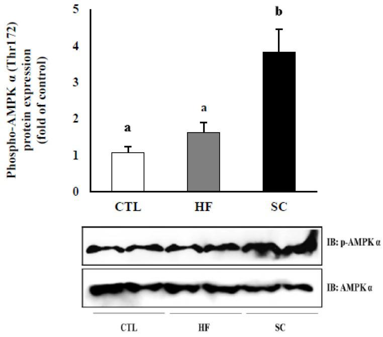 Effect of the SC on the activation of hepatic AMPKα in vivo. Protein levels in liver tissue with p -AMPKα and AMPKα levels showing a representative western blot image. The results are expressed as mean ± S.E. of mice, and the same letter indicates no significant difference between two groups ( p