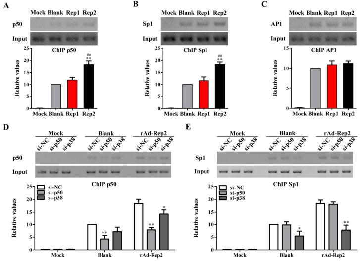 PCV2 Rep activates p38-MAPK signaling to promote NF-κB p50 and Sp1 binding to the il10 promoter. ( A – C ) PAMs were infected with 100 MOI rAd-Rep1 (Rep1), rAd-Rep2 (Rep2), rAd-Blank (Blank), or Mock infection, and the binding levels of transcriptional factor NF-κB p50, Sp1, and AP1 to the il10 promoter were detected by the ChIP assay. ( D , E ) PAMs were transfected with the specific siRNAs of p50, p38-MAPK, or NC, and then infected with rAd-Rep2. The binding activities of p50 and Sp1 to the il10 promoter were detected by the ChIP assay. The data are the means ± SD of three independent experiments. * p