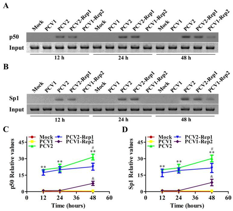 Rep protein enhances the binding activities of p50 and Sp1 with the il10 promoter at the later phase of PCV2 infection. ( A – D ) PAMs were infected with 5 MOI PCV1, PCV2, PCV2-Rep1, and PCV1-Rep2, and the binding activities of p50 and Sp1 were detected at 12 h, 24 h, and 48 h using the ChIP assay ( A , B ); the relevant statistical results of ( A , B ) are shown in line graphs ( C , D ). The data of ( A , B ) are representative of three independent experiments. The data of ( C , D ) are the means ± SD of three independent experiments. ** p
