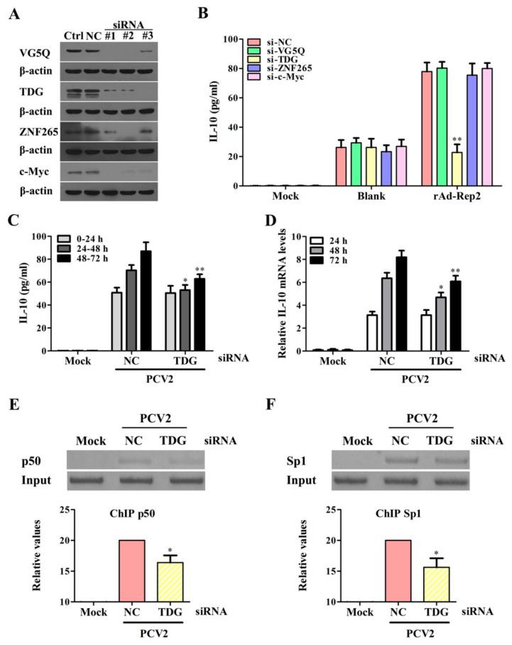 Rep protein interacts with thymine DNA glycosylase (TDG) to enhance the binding activities of Sp1 and NF-κB p50 with the il10 promoter at the later phase of PCV2 infection. ( A ) These specific siRNAs of c-Myc, ZNF265, TDG, and VG5Q were transfected to cells for 48 h, and the efficiency of each gene silencing was detected by western blotting. ( B ) The specific siRNAs of c-Myc, ZNF265, TDG, and VG5Q siRNAs (siRNA #1 of c-Myc, siRNA #2 of ZNF265, siRNA #3 of TDG, and siRNA #2 of VG5Q) were transfected to PAMs, then rAd-Blank or rAd-Rep2 infected the cells (1 × 10 6 cells) for 48 h. The secretion of IL-10 was measured by ELISA in different siRNA-transfected-PAMs. ( C ) The secretion of IL-10 was detected in the TDG siRNA-transfected-PAMs in 0–24 h, 24–48 h, and 48–72 h after PCV2 inoculation by ELISA. The columns indicate IL-10 production in each 24 h in the culture supernatants. ( D ) The levels of IL-10 mRNA were detected in TDG siRNA-transfected-PAMs by Q-PCR with the same incubation time points as C. ( E , F ) TDG siRNA-transfected-PAMs were incubated with 5 MOI PCV2, the binding activities of NF-κB p50 and Sp1 to the il10 promoter were detected at 48 h by the ChIP assay. The data of ( A ) are representative of three independent experiments. The data of ( B – D ) are means ± SEM of three independent experiments. The data of ( E , F ) are the means ± SD of three independent experiments. * p