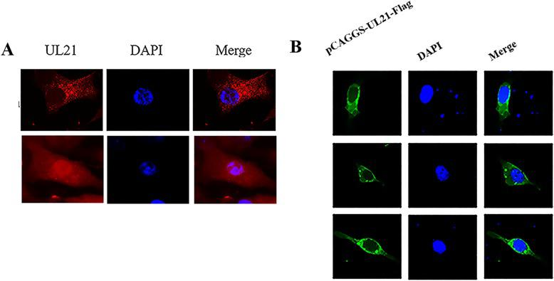 Localization of DEV UL21 in infected and transfected DEFs. A: DEV-infected cells on coverslips were fixed. The samples were incubated successively with rabbit anti-UL21 IgG and goat anti-rabbit IgG conjugated with Alexa Fluor 594. We captured the images by fluorescence microscopy using a 40× objective. B: the DEFs were transfected with pUL21 to observe localization. The samples were incubated successively with rabbit anti-UL21 IgG and goat anti-rabbit IgG conjugated with Alexa Fluor 488. The images were captured under fluorescence microscopy using a 40× objective