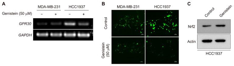 Effects of genistein on GPR30 expression and reactive oxygen species (ROS) generation. (A) MDA-MB-231 and HCC1937 cells were treated with 50 μM Genistein. After 48 hours of incubation, the mRNA expression of GPR30 was assessed by reverse transcription-PCR. (B) The intracellular ROS levels in genistein treated MDA-MB-231 and HCC1937 cells were measured using a DCF-DA fluorescent dye. Cells were exposed to either dimethyl sulfoxide or 50 μM genistein for 24 hours. Images of cellular fluorescence were acquired by using a live cell image microscope. (C) The protein level of <t>Nrf2</t> in HCC1937 with and without genistein treatment for 72 hours was measured by Western blot analysis. GAPDH, glyceraldehyde 3-phosphate dehydrogenase .