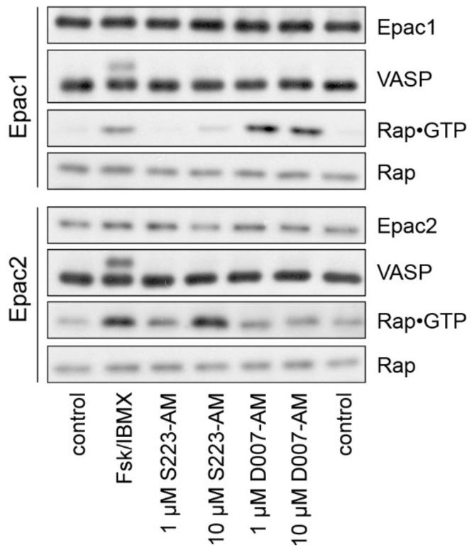 Rap and PKA activation in living cells. U2OS cells stably expressing Epac1 or Epac2 were stimulated as indicated. The activation of PKA was monitored by a phosphorylation-induced band shift of VASP. <t>Rap•GTP</t> was precipitated from cell lysates and compared to the total Rap levels. control, mock-stimulated; Fsk/IBMX, 15 μM forskolin and 200 μM IBMX to elevate intracellular cAMP levels.