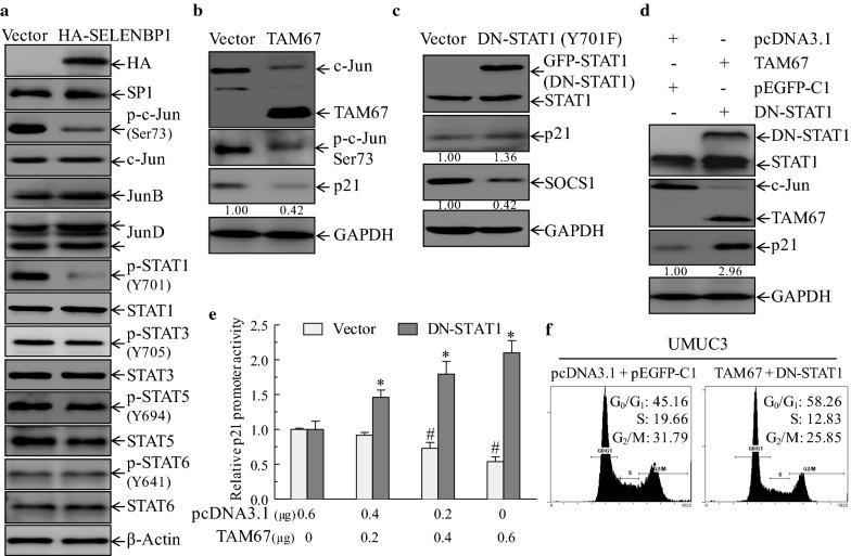 The restoration of SELENBP1 leads to the suppression of c-Jun and STAT1 phosphorylation, both of which are required for SELENBP1-mediated transcriptional induction of p21 protein. a Cell lysates of stable UMUC3 (Vector) and UMUC3 (HA-SELENBP1) cells were subjected to immunoblotting assay with indicated antibodies that might be involved in transcriptional regulation of p21 expression. b UMUC3 cells stably transfected with dominant-negative mutant form of c-Jun (TAM67) or pcDNA3.1(Vector) were extracted and then subjected to immunoblotting analysis with indicated antibodies. Densitometric quantification of p21 (relative to GAPDH) is shown. c UMUC3 cells were stably transfected with dominant-negative mutant STAT1 (DN-STAT1) or pEGFP-C1 construct (Vector), and were then extracted for immunoblotting assay with indicated antibodies. Densitometric quantification of p21 and SOCS1 (relative to GAPDH) is shown under each blot. d TAM67 (1 μg) and pcDNA3.1 (1 μg) plasmids were transiently transfected into stable UMUC3 (DN-STAT1) and UMUC3 (pEGFP-C1), respectively. Following 48 h of transient transfection, cells were collected and then subjected to immunoblotting assay. Densitometric quantification of p21 (relative to GAPDH) is shown. e Indicated amounts of empty vector (pcDNA3.1) and TAM67 was transiently co-transfected into stable UMUC3 (DN-STAT1) or UMUC3 (Vector) cells, together with 1.3 Kb of p21 promoter-driven luciferase reporter and pRL-TK, as an internal control. Thirty-six hours post transfection, luciferase reporter activity was determined. Luciferase activities of UMUC3 (Vector) and UMUC3 (DN-STAT1) groups are normalized to those of corresponding control group that transfected with 0.6 μg of pcDNA3.1, respectively. The asterisk (*) indicates a significant difference as compared to UMUC3 (DN-STAT1) group transfected with 0.6 μg of pcDNA3.1 ( p