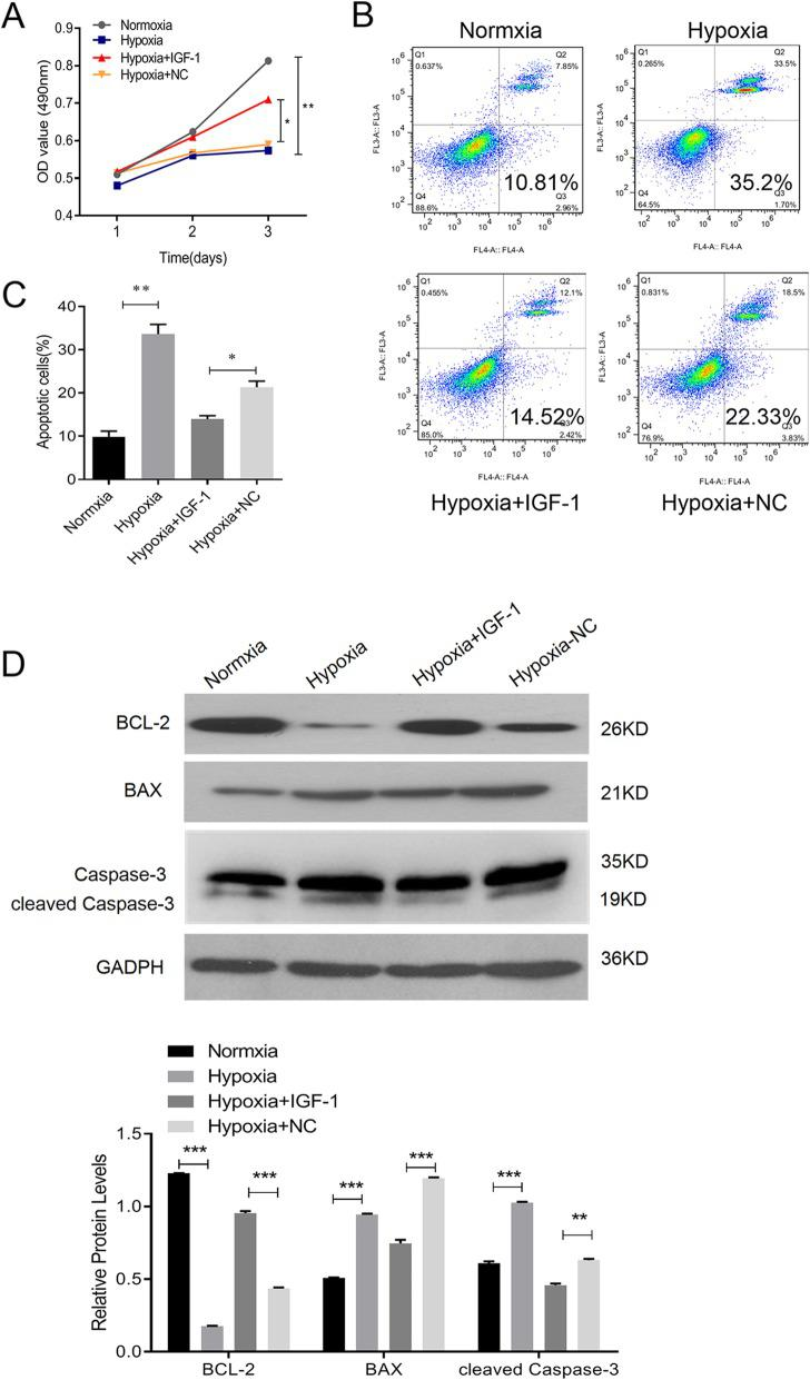 BMSCs-IGF-1 protected H9C2 rat cardiomyoblast cells against hypoxia. H9C2 were co-cultured with BMSCs-NC, BMSCs-IGF-1, or control medium, and then exposed to hypoxia for 48 h. a Cell proliferation of H9C2 was determined by MTS assay. b , c Apoptosis of H9C2 was determined by Annexin-V-FITC staining. d Expression of BCL-2, BAX, and cleaved caspase-3 in H9C2 was determined by Western blotting. All assays were performed in triplicate (* P