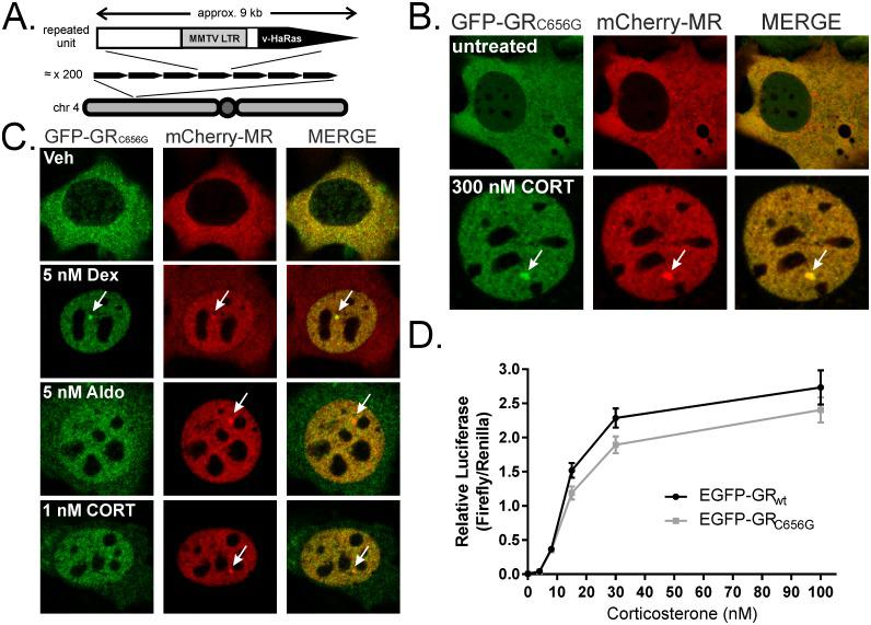 A cell line model for MR and GR co-expression. (A) The repeating unit in the MMTV array comprises the MMTV LTR driving expression of viral Harvey Ras (HaRas) cDNA. Mammary adenocarcinoma line 3617 contains approximately 200 copies at one location in chromosome 4. (B) 3617ChMR cells express fluorescently tagged receptors that localize to the cytoplasm in the absence of hormone but undergo nuclear translocation and bind the array structure (arrows) in the presence of corticosterone. (C) Dexamethasone (5 nM) induces array loading of both receptors, complete GFP-GR C656G translocation, but partial mCherry-MR translocation. Aldosterone (5 nM) induces mCherry-MR array loading, complete mCherry-MR translocation, but partial GFP-GR C656G translocation. 1 nM corticosterone favours mCherry-MR translocation, likely due MR's higher affinity for corticosterone relative to GR. Treatments were 30 min. (D) The GR C656G mutation has little effect on the corticosterone sensitivity of EGFP-GR. COS-1 cells containing no endogenous GR or MR were transfected with equivalent amounts of wildtype (wt) or C656G mutant rat EGFP-GR prior to treatment with corticosterone for 24 hrs at the doses indicated. Co-transfected pFC31-Luc provided a MMTV-driven firefly luciferase reporter and pRL-CMV a Renilla transfection control. Two-way ANOVA of Renilla-corrected luminescence showed a significant effect of dose (F(5,24) = 190.4, p
