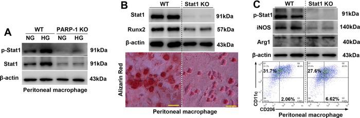 PARP-1 deficiency attenuates Stat1-mediated macrophage calcification and macrophage polarization. a Immunoblotting was performed to detect the effect of PARP-1 depletion on total and phosphorylated Stat1 levels ( n = 5). b Stat1 depletion attenuates high glucose-promoted macrophage calcification in vitro ( n = 5). Scale bar = 10 µm. c Immunoblotting and flow cytometry were performed to detect the effect of Stat1 depletion on macrophage phenotype switching ( n = 5).