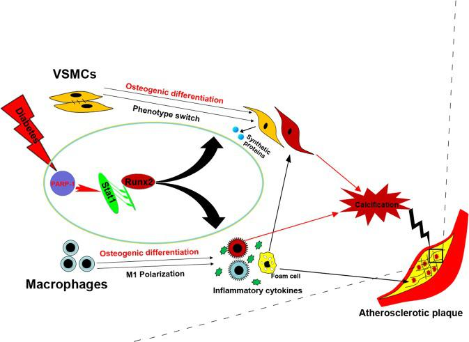 Proposed working schematic of PARP-1 depletion-mediated attenuation of atherosclerotic calcification in diabetes. Diabetes activates Runx2 expression and induces the osteogenic differentiation of both VSMCs and macrophages. Concurrently, diabetes promotes phenotype switching of VSMCs from the contractile phenotype to a dedifferentiated synthetic phenotype, and of macrophages to a proinflammatory M1 phenotype, which in turn aggravates VSMC calcification. PARP-1 acts on Stat1 transcription, which functions as a regulator of Runx2 expression and osteogenic differentiation. PARP-1 depletion reversed the hyperglycemia-induced synthetic phenotype switching of VSMCs and macrophage polarization by targeting Stat1. As a result, PARP-1 depletion suppresses diabetic atherosclerotic calcification.
