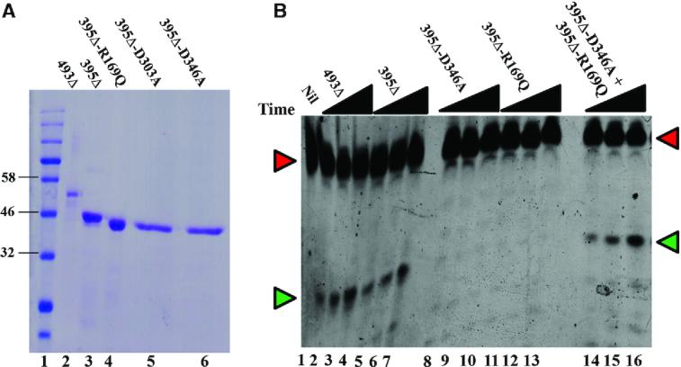 In vitro reconstitution of intragenic complementation in RNase E. ( A ) Visualization by Coomassie blue staining of purified preparations of RNase E variants following electrophoresis on SDS–10% polyacrylamide gel. Lane 1, molecular-weight standards; values (in kDa) for some of the bands on this lane are indicated. ( B ) Determination of catalytic activity for RNase E variants singly and in combination. The proteins tested are indicated on top, and each wedge represents increasing reaction times (5, 10 and 15 min) from left to right. For lanes 14 to 16, the polypeptides were pre-mixed immediately before their addition to the reaction mixture. Positions of migration of 13-mer RNA substrate and 5-mer product, both fluorescein-tagged, are marked by red and green arrowheads, respectively.