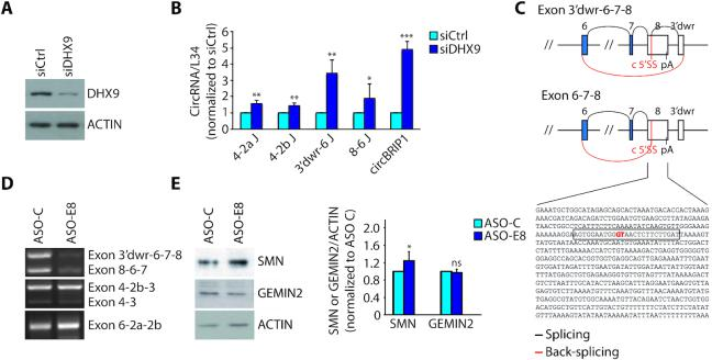 Interfering with SMN circRNAs biogenesis affects the expression of SMN protein. ( A ) Western blot analysis of DHX9 in DHX9-depleted cells (HEK293T). <t>Actin</t> was evaluated as loading control. ( B ) qPCR analysis for indicated back-splice junctions in DHX9-depleted cells (HEK293T). CircBRIP1, known to be regulated by DHX9 ( 29 ), was used as positive control. RPL34 was used to normalize <t>RNA</t> content in parallel RT-PCR reactions omitting RNAse R treatment (mean ± SD, n = 3; * P ≤ 0.05, ** P ≤ 0.01, *** P ≤ 0.001; unpaired t-test). ( C ) Schematic representation of splicing and back-splicing events that generate the two exon 8-containing SMN circRNA, as indicated in the figure. Exons are represented as boxes and introns as lines. In blue and in white are indicated the coding and the non-coding exons, respectively. Shown below is the nucleotide sequence of SMN exon 8 and in red is indicated the cryptic 5′ splice site (c 5′SS) involved in the back-splicing event with the 3′ splice site of exon 6. The sequence of ASO-E8 is highlighted in the rectangle. pA stands for poly A site and 3′dwr stands for 3′ downstream region indicating a cryptic exon of 98 bp involved in circularization and located downstream from exon 8 of SMN . ( D ) Representative images of RT-PCR analysis for the indicated SMN2 circRNAs in ASO treated cells (GM03813). ASO-C is a control morpholino. ( E ) Representative images (left panel) and densitometry (right panel) of western blot for SMN and GEMIN 2 in ASO treated cells (GM03813). Actin was evaluated as loading control (mean ± SD, n = 5; * P ≤ 0.05, ns not significant; unpaired t -test).