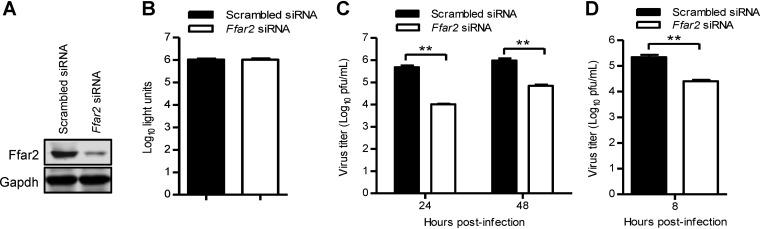 Ffar2 enhances IAV replication in mouse RAW 264.7 cells. (A) Mouse RAW 264.7 cells were transfected with mouse Ffar2 siRNA or scrambled siRNA for 48 h, and the knockdown of Ffar2 was confirmed by Western blotting with a rabbit anti-FFAR2 pAb. (B) Mouse RAW 264.7 cells were treated with mouse Ffar2 siRNA or scrambled siRNA and cultured at 37°C for 48 h. Cell viability was determined by using a CellTiter-Glo assay. (C and D) Ffar2 siRNA- or scrambled siRNA-transfected RAW 264.7 cells were infected with AH05 (H5N1) virus at an MOI of 0.1 (C) or 5 (D). Supernatants were collected at the indicated time points, and virus titers were determined by means of plaque assays on MDCK cells. **, P