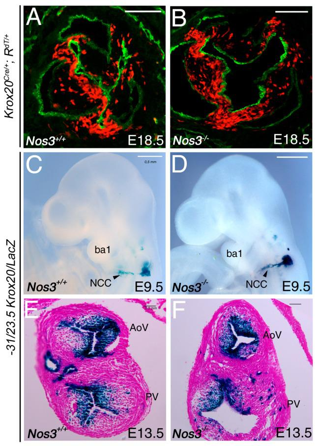 Absence of Nos3 does not affect Krox20 contribution. ( A , B ) Embryos were harvested from Krox20 Cre/+ ;Rosa tdTomato mice at E18.5 and immunohistochemistry is performed to detect Tomato expression (red) as an indicator of recombination, while Pecam (green) identifies endothelial cells in the aortic valve. No major difference is observed between Nos3−/− and control littermate embryos. ( C – F ) X-gal staining was performed on −31/−23.5 Krox20/LacZ transgenic mice to follow the Krox20 -expressing cells at E9.5 ( C , D ), and E13.5 ( E,F ) stages. ( C , D ) At E9.5, β-galactosidase (β-gal) activity is detected in migratory neural crest cells. No defect is observed in Nos3−/− compared with control embryos (compared D with C ). ( E , F ) Transverse section through the outflow tract cushions at E13.5 showing β-gal-positive cells in the arterial valve leaflets. AoV, aortic valve; ba1, branchial arch 1; PV, pulmonary valve; NCC, neural crest cells. Scale bars: 100 μm ( A , B ); 50 μm ( C – F ).