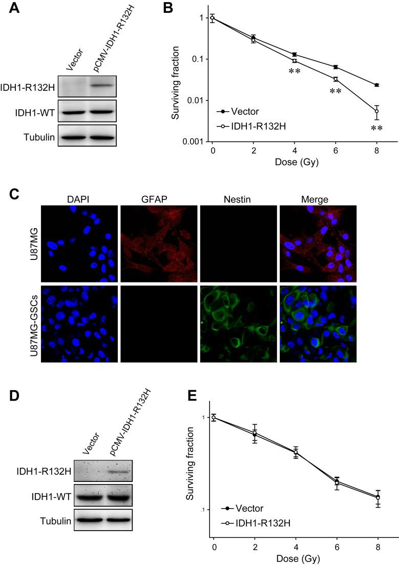 Effects of IDH1-R132H on U87MG cell and U87MG-GSC radiosensitivity. (A) Expression of IDH1-R132H in U87MG cells transfected with the pCMV–IDH1-R132H plasmid was examined by western blot analysis. (B) The radiosensitivity of U87MG cells expressing IDH1-R132H was evaluated by clonogenic assay. (C) The differentiation marker <t>GFAP</t> and stem cell marker <t>nestin</t> were visualized in U87MG cells and U87MG-GSCs by immunofluorescence. (D) IDH1-R132H expression in U87MG-GSCs following transfection with the pCMV–IDH1-R132H plasmid. (E) Clonogenic assay of U87MG-GSCs transfected with an empty vector or the pCMV–IDH1-R132H plasmid. **P