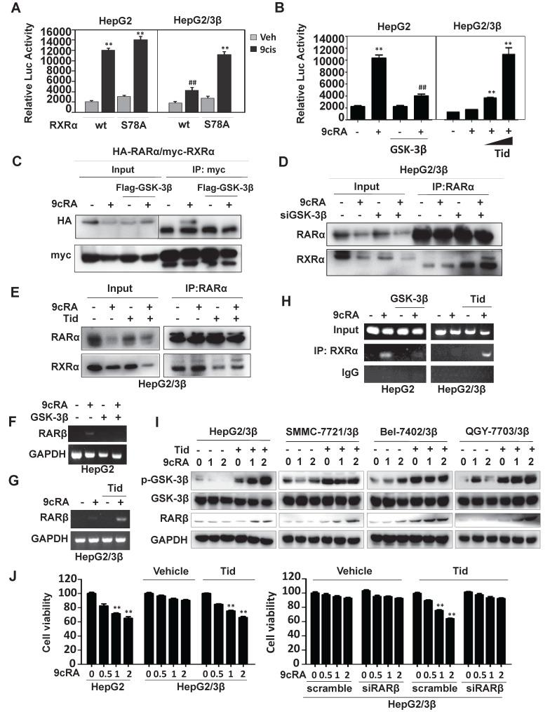 GSK-3β impairs retinoid signaling. (A) Reporter assays. HepG2 and HepG2/3β cells were transfected with myc-RXRα or myc-RXRα/S78A. The cells were co-transfected with pGL6-βRARE, Renilla, and HA-RARα for 24 h and then treated vehicle or 1 μM 9- cis -RA for 20 h. The fluorescence intensities were determined with Multiskan Spectrum (PerkinElmer). Renilla luciferase activity was used to normalize for transfection efficiency. ** p
