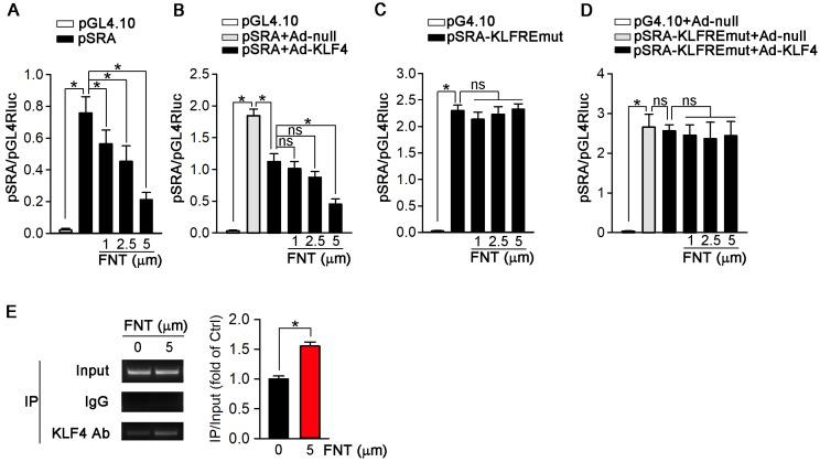 KLF4 acts as a transcriptional suppressor of SRA. ( A ) 293T cells were transfected with pGL4.10 vector containing SRA promoter-linked Firefly gene (pSRA) together with pGL4.70 vector containing Renilla gene, and then treated with formononetin for 12 h. The transcriptional activity of SRA was measured by a dual luciferase assay system and normalized to that of Renilla, n=5. ( B ) 293T cells were infected with Ad-KLF4, and then transfected with pSRA together with pGL4.70 vector, followed by treatment with formononetin for 12 h. The transcriptional activity of SRA was measured by a dual luciferase assay system and normalized to that of Renilla, n=5. ( C ) 293T cells were transfected with pGL4.10 vector containing mutant SRA promoter-linked Firefly gene (pSRA-KLFREmut) together with pGL4.70 vector, and then treated with formononetin for 12 h. The transcriptional activity of SRA was measured as described in (B), n=5. ( D ) 293T cells were firstly infected with Ad-KLF4, and then transfected with pSRA-KLFREmut together with pGL4.70 vector, followed by treatment with formononetin for 12 h. The transcriptional activity of SRA was measured as described in (B), n=5. ( E ) After treatment of formononetin, the ability of KLF4 binding to SRA promoter was assayed by the chromosome-immunoprecipitation experiment, n=5. Data are presented as mean ± SEM, * P