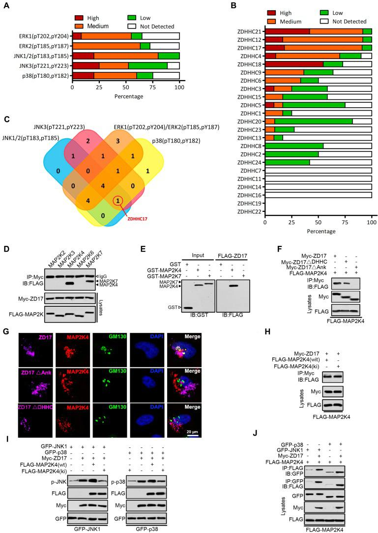 ZDHHC17-MAP2K4-JNK/p38 Signaling Module Formation in Glioblastoma Multiforme (GBM). (A) The expression of ERK1 (pT202, pY204), ERK2 (pT185, pY187), JNK1/2(pT183, pT185), JNK3 (pT221, pY223) and p38 (pT180, pY182) in GBM is summarized based on the immunohistochemistry results of the Human Protein Atlas. (B) The expression of different DHHCs in glioma is summarized based on the immunohistochemistry results of the Human Protein Atlas. (C) Venn diagram showing the relationship between expression patterns of different DHHCs and activation of ERK1, ERK2, JNK1/2, JNK3, and p38 in GBM. (D) Lysates from HEK293 cells expressing Myc-ZDHHC17 and Flag-MAPKKs were subjected to immunoprecipitation (IP), followed up by immunoblotting (IB) with anti-FLAG antibodies and anti-Myc. IP, immunoprecipitation; IB, immunoblotting. (E) GST pull-down utilizing purified GST-MAP2K4 (or GST-MAP2K7) and FLAG-ZDHHC17-expressing HEK293 cell lysates, followed by IB with an anti-FLAG antibody. (F) ZDHHC17 associates with MAP2K4 via ZDHHC17 ANK rather than PAT activity domain. IP of lysates from HEK293 cells expressing Flag-MAP2K4 and Myc-ZDHHC17 mutants, followed by IB with anti-Flag antibodies and anti-Myc. ZDHHC17 ΔDHHC: ZDHHC17 aa 440-487 deletion; ΔANK: ZDHHC17 aa 51-288 deletion. (G) ZDHHC17 protein recruits MAP2K4 in the Golgi and cytoplasmic vesicles in U118MG cells, in a ZDHHC17 ANK domain-dependent manner. Immunofluorescence of U118MG cells expressing Myc-ZDHHC17 (or -ZDHHC17 ΔDHHC or ΔANK) with anti-Myc (Pink), MAP2K4 (Red), and GM130 (Green) antibodies. Scale bar, 20 µm. (H) ZDHHC17 interacts with MAP2K4 wild-type (wt) and the kinase-inactive mutant (ki). IP of lysates from HEK293 cells expressing Myc-ZDHHC17 and FLAG-MAP2K4wt (or FLAG-MAP2K4ki), followed by IB with anti-FLAG antibodies and anti-Myc. (I) MAP2K4 contributes to the ZDHHC7-mediated JNK1 and p38 phosphorylation. FLAG-MAP2K4ki co-expression in HEK293 cells reduces Myc-ZDHHC17-mediated GFP-JNK1 (or GFP-p38) phosphorylation. (J) MAP2K4 and JNK1 (or p38) are recruited by ZDHHC17 in a signaling module. GFP-JNK1 (p38) and FLAG-MAP2K4 were introduced in HEK293 cells, with or without Myc-ZDHHC17. MAP2K4 presence upon JNK1 (or p38) IP is improved by ZDHHC17 co-expression.