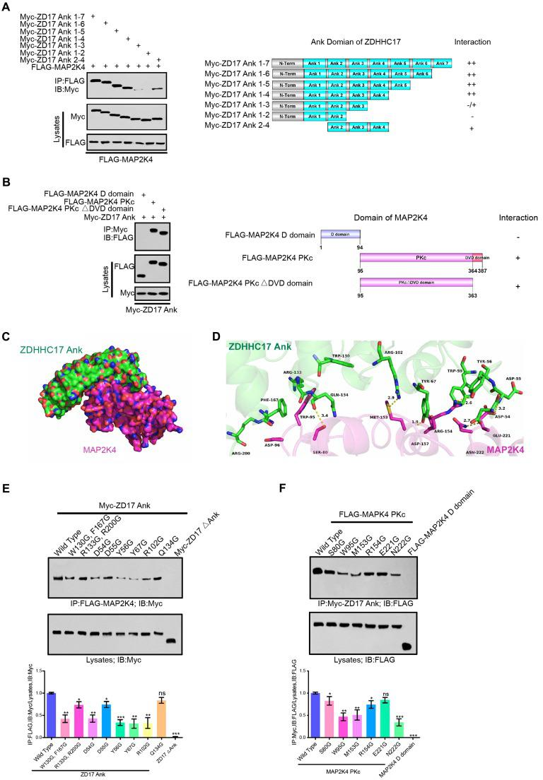 ZDHHC17 and MAP2K4 Interact Via Specific Binding Motifs. (A) ZDHHC17 ANK (2-4) domain is crucial for ZDHHC17-MAP2K4 interaction. Myc-tagged ZDHHC17 ANK (1-7) and various deletions (right). Interaction capability (positive or negative) is shown. (B) MAP2K4 PKc domain is crucial for the ZDHHC17-MAP2K4 interaction, independent of the DVD domain. FLAG-tagged MAP2K4 and various MAP2K4 deletion fragments (right). Interaction capability (positive or negative) is shown. (C) Surface representation of the complex. ZDHHC17 and MAP2K4 binding mode molecular docking was performed using the ZDOCK server. MAP2K4 (Magenta) binds to the concave ANK(1-7) (Green) region between ANK2 and ANK4. (D) Cartoon and stick representation of ZDHHC17 ANK (1-7) (Pale Green) and ANK (1-7) (Green), respectively. (E) IP of lysates from HEK293 cells expressing Flag-MAP2K4 and Myc-ZDHHC17 ANK (1-7) mutants, followed by IB with anti-Flag antibodies and anti-Myc. Data represent the means ± SD from three separate experiments ( ns , not significant; * p