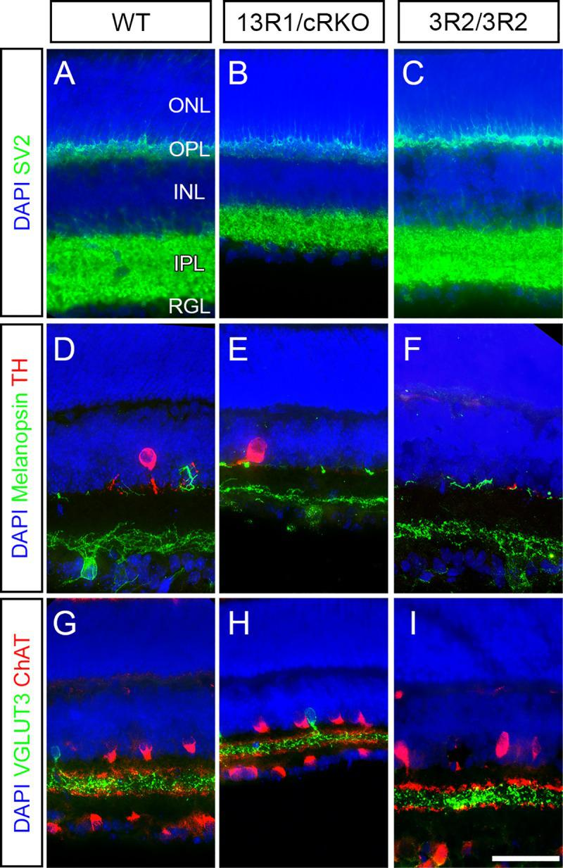 Substantial loss of retinal thickness without layer disorganization in 13R1 mutants. A-C ) Cryosections taken in cross section through retinas of ( A ) wild type, ( B ) 13R1/cRKO, and ( C ) 3R2 mutants at two weeks of age were immunostained for SV2 to label the synaptic layers (outer and inner plexiform layers; OPL, IPL) and DAPI to label the inner and outer nuclear layers (ONL, INL) and retinal ganglion cell layer (RGL). The IPL and INL were both notably thinner in 13R1/cRKO than in wild type or 3R2 mutants. This was not accompanied by disorganization of neuronal subtype stratification within the IPL, as revealed by ( D-F ) Melanopsin and TH immunolabeling of ipRGCs and dopaminergic amacrine cells, respectively, and ( G-I ) VGLUT3 and ChAT immunolabeling of glutamatergic amacrine cells and starburst amacrine cells, respectively. Scale bar is 50 μm. Images are representative of at least 6 retinas per genotype analyzed.