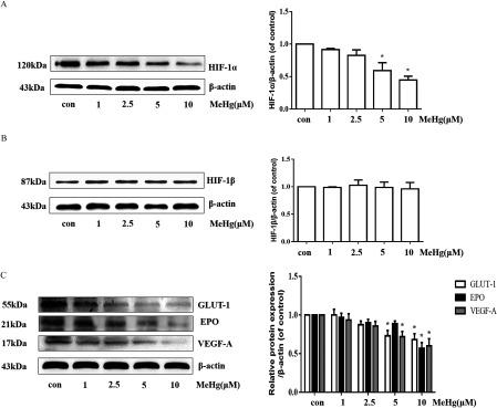 Effects of MeHg on the expression of HIF- 1 α – related proteins in astrocytes. (A) Western blotting for HIF- 1 α in astrocytes following MeHg (0, 1, 2.5, 5 or 10 μ M , 0.5 h ) exposure. (B) Western blotting for HIF- 1 β in astrocytes following MeHg (0, 1, 2.5, 5, or 10 μ M , 0.5 h ) exposure. (C) Effect of MeHg (0, 1, 2.5, 5, or 10 μ M , 0.5 h ) exposure on the expression of the downstream proteins of HIF- 1 α , including GLUT-1, EPO, and VEGF-A. β -actin was used as the internal control. Note: Data are presented as mean ± SD from three independent experiments ( n = 3 ). con, control (culture medium treatment without MeHg); EPO, erythropoietin; GLUT-1, glucose transporter 1; HIF- 1 α , Hypoxia-inducible factor- 1 α ; HIF- 1 β , Hypoxia-inducible factor- 1 β ; MeHg, methylmercury; VEGF-A, vascular endothelial growth factor A. * p