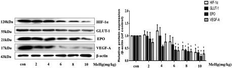 Protein expression of HIF- 1 α and downstream effectors following MeHg administration in in vivo rat models. Adult Sprague-Dawley rats were administered with MeHg (0, 2, 4, 6, 8, 10 mg / kg ) by intraperitoneal injection for 0.5 h . Whole brain lysates were analyzed by Western blotting for the indicated proteins. Note: Data are presented as mean ± SD ( n = 6 rats / group ). con, control (intraperitoneal injection of saline); EPO, erythropoietin; GLUT-1, glucose transporter 1; HIF- 1 α , Hypoxia-inducible factor- 1 α ; MeHg, methylmercury; VEGF-A, vascular endothelial growth factor A. * p