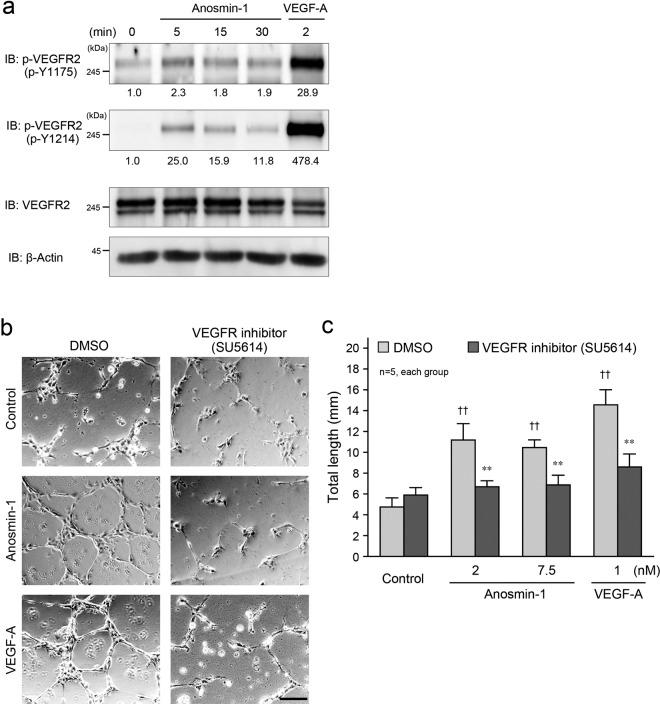 Anosmin-1-induced activation of VEGFR2 for tube formation. ( a ) Phosphorylation of VEGFR2 by anosmin-1 treatment. Starved HUVECs were stimulated with 7.5 nM anosmin-1 for the indicated durations or with 1 nM VEGF-A for 2 min. Cell lysates were analyzed by western blotting with the indicated Abs. The density of each phosphorylated VEGFR2 band normalized by the VEGFR2 band was measured, and the density relative to the value without treatment (0 min) set as 1.0 was calculated and is shown below the band. ( b ) Suppression of anosmin-1-induced tube formation by VEGFR2 inhibitor. HUVECs were seeded onto a Matrigel-coated 24-well plate, and then, 7.5 nM anosmin-1 or 1 nM VEGF-A was added with the VEGFR2 inhibitor (10 μM SU5614) or 0.1% DMSO at the same time. As a negative control (Control), cells were incubated without reagents in the presence of the VEGFR2 inhibitor or 0.1% DMSO. After the incubation and fixation, the formed tubes were observed by light microscopy. Scale bar: 500 μm. ( c ) Summary graphs of ( b ). Total length of the formed tubes was measured. **P