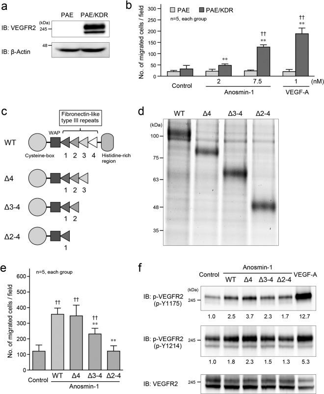 Effects of anosmin-1 deletion mutants on VEGFR2 activation and cell migration. ( a ) Expression of VEGFR2 in PAE and PAE/KDR cells. Cell lysates were analyzed by western blotting with the anti-VEGFR2 and anti-β-actin Abs. ( b ) Transwell cell migration assay. PAE or PAE/KDR cells were seeded in the upper compartment, and were treated with the indicated concentrations of anosmin-1 or VEGF-A, or without anosmin-1 (Control). The cells that moved into the lower chamber were counted in five different microscopic fields. **P