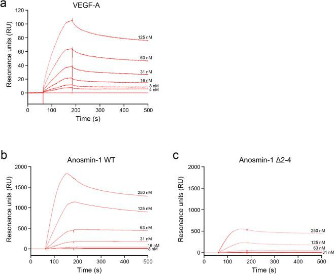 BIAcore analysis for binding to VEGFR2. The data after the injection of VEGF-A ( a ), anosmin-1 WT ( b ), and anosmin-1 ∆2–4 (c) at the indicated concentrations are shown.