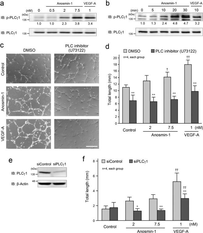 Anosmin-1-induced activation of PLCγ1 and its involvement in tube formation. ( a,b ) Phosphorylation of PLCγ1 by anosmin-1. ( a ) Starved HUVECs were treated with the indicated concentration of anosmin-1 or VEGF-A, or without reagents (0 nM), for 5 min. ( b ) Starved bEnd3 cells were treated with 0.5 nM anosmin-1 or 1 nM VEGF-A for the indicated durations. After the treatment, cells were lysed and analyzed by western blotting with the anti-phospho-PLCγ1 and anti-PLCγ1 Abs. The density of each phosphorylated PLCγ1 band normalized by the PLCγ1 band was measured, and the density relative to the value without treatment (0 nM in a or 0 min in b ) set as 1.0 was calculated and is shown below the band. ( c ) Suppression of the anosmin-1-induced tube formation by the PLC inhibitor. HUVECs were seeded onto a Matrigel-coated 24-well plate and were treated with 7.5 nM anosmin-1 or 1 nM VEGF-A, or without reagents (Control). At the same time, PLC inhibitor (10 μM U73122) or 0.1% DMSO was added. After the incubation and fixation, the formed tubes were observed by light microscopy. Scale bar: 500 μm. ( d ) Summary graph of ( c ). Total length of the formed tubes was quantified. **P