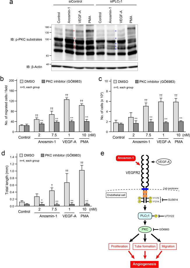 Anosmin-1-induced activation of PKC and its involvement in tube formation. ( a ) Phosphorylation of PKC substrates by anosmin-1. After incubation with 10 nM siPLCγ1 or siControl for 2 days, starved HUVECs were treated with 7.5 nM anosmin-1, 1 nM VEGF-A, 10 nM PMA, or without reagents (Control) for 10 min. PMA was used as a positive control for the PKC activator. Cell lysates were analyzed by western blotting with the anti-phospho-PKC substrates and anti-β-actin Abs. Red asterisks indicate the bands for which the density was increased by anosmin-1 treatment, compared with those in the control lane. Blue asterisks indicate the bands for which the density was attenuated, compared with those of the siControl-treated samples. ( b–d ) Suppression of the anosmin-1-induced cell migration ( b ), proliferation (c) , and tube formation ( d ) by the PKC inhibitor. ( b ) HUVECs were seeded in the upper compartment and were treated with the indicated concentrations of anosmin-1, VEGF-A, or PMA in the presence of PKC inhibitor (10 μM GÖ6983) or 0.1% DMSO. The cells that moved into the lower chamber were counted in five different microscopic fields. ( c ) Starved HUVECs were treated with the indicated concentrations of anosmin-1, VEGF-A, or PMA in the presence of PKC inhibitor (10 μM GÖ6983) or 0.1% DMSO. After the incubation, the number of cells in the culture dishes was counted. (d) bEnd3 cells were seeded onto a Matrigel-coated 24-well plate, and were treated with the indicated concentrations of anosmin-1, VEGF-A, or PMA. At the same time, PKC inhibitor (10 μM GÖ6983) or 0.1% DMSO was added. Total length of the formed tubes was quantified and is summarized in the graph. *P