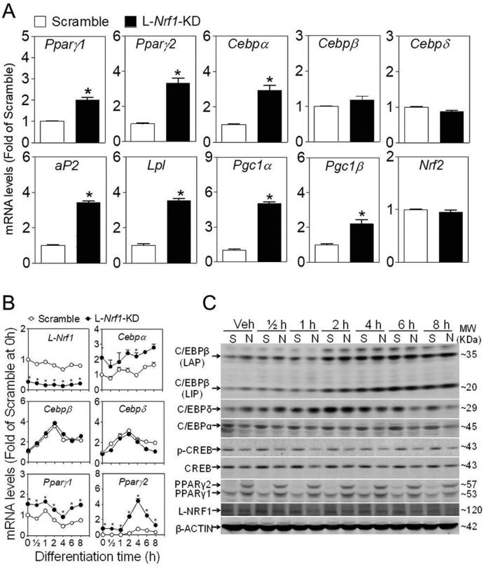 L- Nrf1 -KD 3T3-L1 cells exhibits increased mRNA and protein expression of PPARγ under basal condition and during the early stage of adipogenic differentiation. The mRNA expression of adipogenic factors in Scramble and L- Nrf1 -KD cells maintained in normal growth medium (A) and post DMI treatment for indicated time (B). The mRNA levels were measured by RT-qPCR. * p