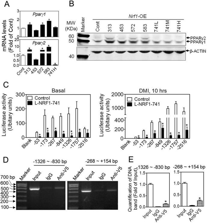 Overexpression of L-NRF1-741 suppresses the expression of PPAR γ in 3T3-L1 cells. (A) The mRNA expression of Pparγ in control and various Nrf1 -OE cells under normal culture condition. Cont (Control), 313, 453, 572, 583, and 741 refer to the cells overexpressing indicated isoforms of NRF1. * p