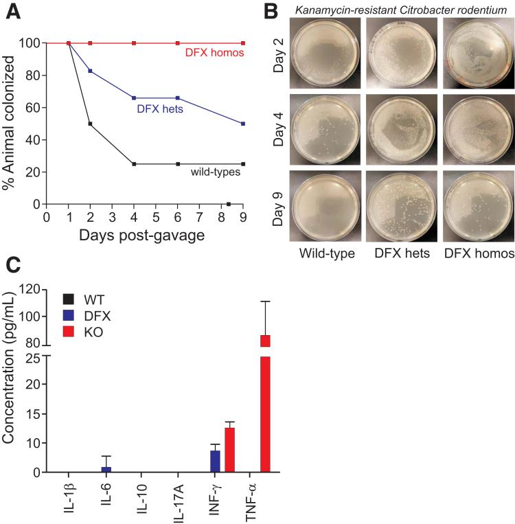 NKCC1 is required for enteric C rodentium infection clearance. NKCC1 WT/WT , NKCC1 WT/DFX , and NKCC1 DFX/DFX mice were infected with 10 9 colony forming units of a kanamycin-resistant strain of C rodentium . Feces were collected every day, eluted, plated, and bacteria were enumerated. ( A ) Percentage of NKCC1 WT/WT , NKCC1 WT/DFX , and NKCC1 DFX /DFX mice with positive C rodentium shedding in feces over the 9-day period. ( B ) Bacteria plated on a kanamycin-containing plate show colonization or delay clearance in NKCC1 WT/DFX and NKCC1 DFX/DFX mice. ( C ) Inflammatory cytokine production in the serum of NKCC1 WT/WT , NKCC1 WT/DFX , and NKKCC1 DFX/DFX mice after 9 days postinfection (n = 3–5 mice per group, the experiment was repeated twice). hets, heterozygotes; homos, homozygotes; IL, interleukin; INF, interferon.