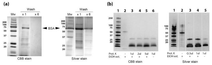 Preparation of EtOH extract for mass spectrometry analysis. ( a ) Map bacilli were washed 6 times prior to EtOH extraction (labeled × 6) to avoid bovine serum albumin (BSA) contamination. A second extract was prepared after washing Map once (label × 1). Lipids and carbohydrate were removed from the EtOH extract through a second chloroform:methanol:water extraction. This second extraction was run on 12% SDS-PAGE denaturing gels and exposed to Coomassie stain (CBB) and silver stain. The location of BSA migration is identified for both gel images. ( b ) <t>Proteinase</t> K treatment of Map EtOH extract. Inclusion of proteinase K or the EtOH extract along with staining method is indicated beneath the gel. Kilodalton size markers are shown in the left margins of all gels.