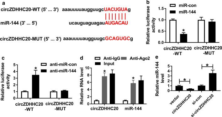 CircZDHHC20 acted as a molecular sponge of miR-144. a Schematic of circZDHHC20 illustrating position of the miR-144-binding site and mutated the miR-144-binding site. b , c Relative luciferase activity in HTR-8/SVneo cells cotransfected with circZDHHC20-WT or circZDHHC20-MUT and miR-con mimic, miR-144 mimic, anti-miR-con or anti-miR-144. d The enrichment of circZDHHC20 and miR-144 in the RISC of HTR-8/SVneo cells using anti-Ago2 or IgG antibody, with Input content as positive control. e The expression of miR-144 by qRT-PCR in HTR-8/SVneo cells transfected with negative control plasmid (vector), circZDHHC20 overexpression plasmid (circZDHHC20), si-con or si-circZDHHC20. * P