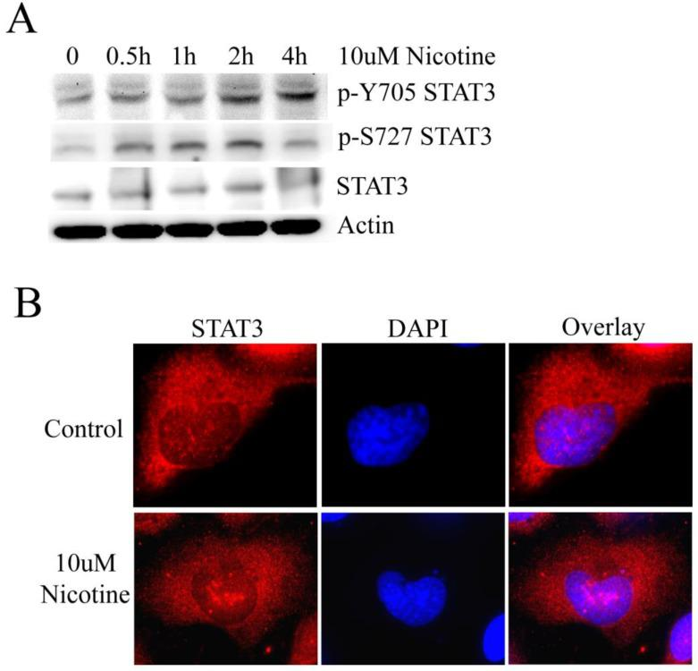 Nicotine can induce the activation of STAT3. (A) H1299 cells were treated with 10µM nicotine for 0h, 0.5h, 1h, 2h and 4h. Western blot was done to check p-Y705 STAT3, p-S727 STAT3 and STAT3. (B) 10µM nicotine treated H1299 cells for 2h and the the immunofluorescence was done to check the subcellular localization of STAT3. Untreated cells were done as control.