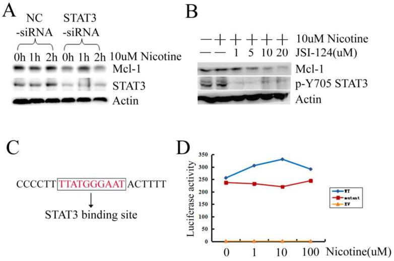 Activated STAT3 induced by nicotine regulates Mcl-1. (A) H1299 cells were transiently transfected with siRNA targeting STAT3 (STAT3-siRNA) and negative control siRNA (NC-siRNA) at least 24h, and then treated with 10µM nicotine for 0h, 1h and 2h. Western blot was done to check the expression of Mcl-1 and STAT3. (B) H1299 cells were treated in the absence or presence of increasing concentration of JSI-124 for 30min, and then treated with 10µM nicotine for 2h. Western blot analysis was performed to detect the p-Y705 STAT3 and the expression of Mcl-1. (C) The sequence of Mcl-1 promoter containing a STAT3 binding site. (D) H1299 cells were transiently transfected with EV, WT, mutant luciferase reporter plasmid and Rellina luciferase plasmid, then treated in the absence or presence of increasing concentration of nicotine for 2h. Samples were measured by a dual-luciferase reporter assay system. Each experiment was performed at least in triplicate. EV: original pGL3-Basic plasmid; WT: a 325bp long human Mcl-1 promoter fragment was inserted into pGL3-Basic plasmid; mutant: the Mcl-1 promoter fragment without the STAT3 binding site was inserted into pGL3-Basic plasmid.