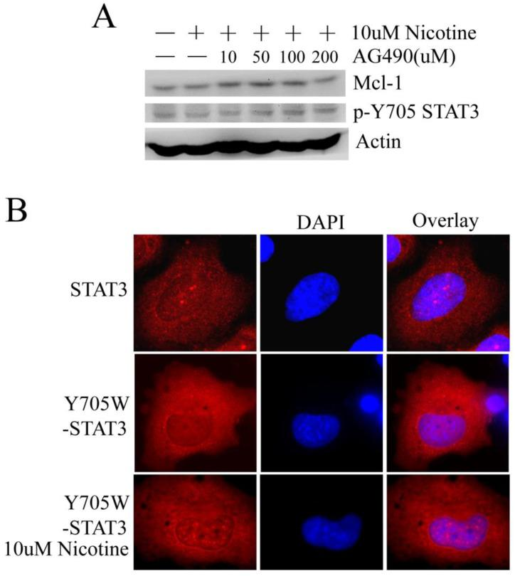 Nicotine may stimulate STAT3 in a JAKs-independent manner and the phosphorylation at Y705 site isn't indispensable for nuclear accumulation of STAT3. (A) H1299 cells were treated with 10µM nicotine in the absence or presence of increasing concentrations of AG490 for 2h. Phosphosylation of STAT3 and expression of Mcl-1 were determined by Western blot. (B) Immunofluorescence was done to check the subcellular localization of STAT3 using STAT3-antibody. H1299 cells were transiently transfected with Y705W-STAT3 plasmid (with Flag tag) at least 24h and then immunofluorescence was done with Flag-antibody. Y705W STAT3: the residue Y at 705 site of STAT3 was mutated to W.