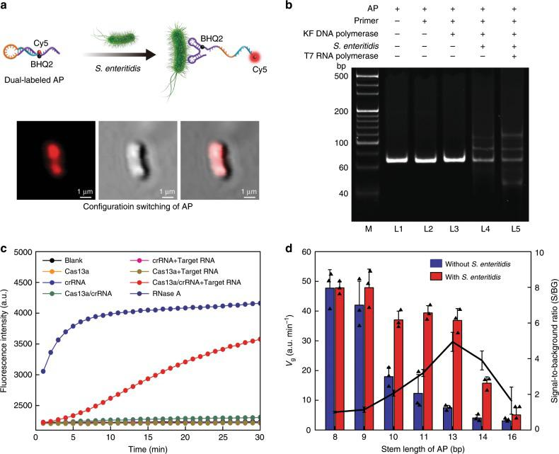 Analysis of APC-Cas. a Illustration and representative laser scanning confocal microscope (LSCM) images of dual-labeled AP binding to the S . Enteritidis. b Electrophoretic analysis of the feasibility of APC-Cas for S . Enteritidis detection. M: DNA marker, L1: AP; L2: AP + primer; L3: AP + primer + KF DNA polymerase; L4: AP + primer + KF DNA polymerase + S . Enteritidis; L5: AP + primer + KF DNA polymerase + S . Enteritidis + T7 RNA polymerase. ' + ' means presence, '-' means absence. c Fluorescence measurement of LbuCas13a activity. RNase A was used as positive control for the degradation of RNA reporter probe. d Comparison of seven APs with varied stem-length. Data represent mean ± s.d., n = 3, three technical replicates.