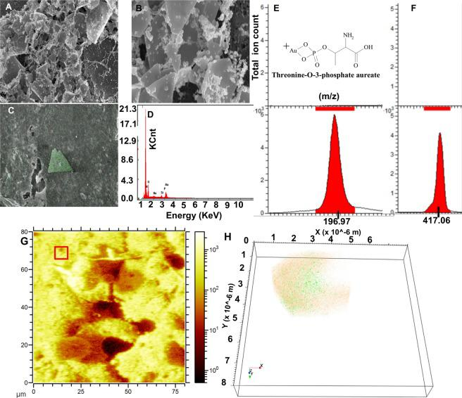 SEM and ToF-SIMS analysis of de novo biomineralized nanostructures at 2 mM Au ions: delta and rhombus shaped particles. ( A – D ) SEM and EDX chemical mapping to confirm anisotropic rhombus/delta shape Au nanoplate formation (Scale bar 1 micron). ( E , F ) The SIMS signals from Au + ( E ) and threonine- O -3-phosphate aureate ( F ). ( G ) Reconstructed ToF-SIMS ion image from the A549 cell surface demonstrating spherical Au particles. ( H ) The 3D reconstruction and overlay of Au + signal (orange) and threonine- O -3-phosphate aureate (green) from red square ROI from ( G ).