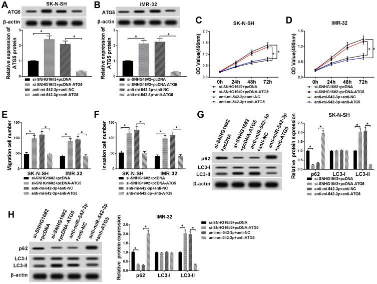 Effects of ATG5 on SNHG16 or miR-542-3p knockdown-mediated proliferation, migration, invasion and autophagy of NB cells. SK-N-SH and IMR-32 cells were transfected with si-SNHG16#2+pcDNA, si-SNHG16#2+pcDNA-ATG5, anti-miR-542-3p+anti-NC or anti-miR-542-3p+anti-ATG5, respectively. ( A and B ) ATG5 protein expression level in SK-N-SH and IMR-32 cells was assessed by Western blot analysis. ( C and D ) MTT assay was conducted for the determination of the proliferation of SK-N-SH and IMR-32 cells. ( E and F ) Transwell assay was performed for the assessment of the migration and invasion of SK-N-SH and IMR-32 cells. ( G and H ) Western blot analysis was used for the detection of the protein expression levels of LC3-I, LC3-II and p62 in SK-N-SH and IMR-32 cells. * P