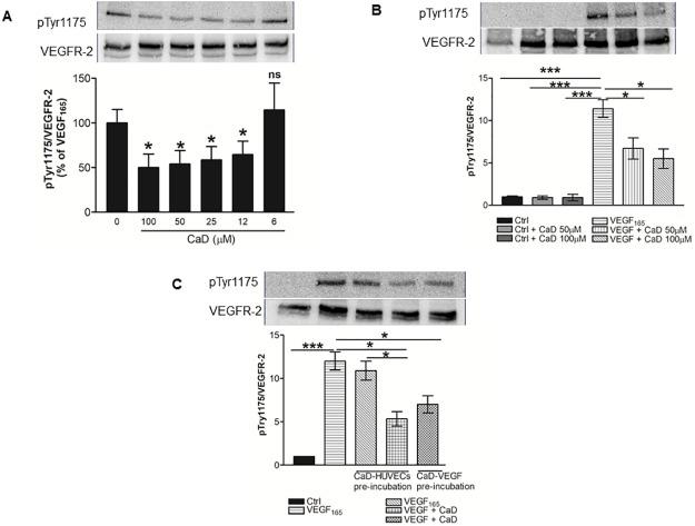 Calcium dobesilate (CaD) inhibits VEGF-induced VEGFR-2 activation. VEGF 165 (25 ng/mL) was premixed and incubated with: ( A ) various CaD concentrations (6–100 μM) or ( B ) 50–100 μM CaD for 1 h, before exposure to HUVECs for 2 min. ( C ) HUVECs were incubated with 50 and 100μM CaD for 60 min with three subsequent washing steps with warm medium before stimulation with VEGF 165 for 2 min. Western blot analysis was performed using anti-phospho-VEGFR-2 antibody and total VEGFR2 was used as a loading control after membrane stripping. Each bar represents the mean ± SD (n = 3). *P