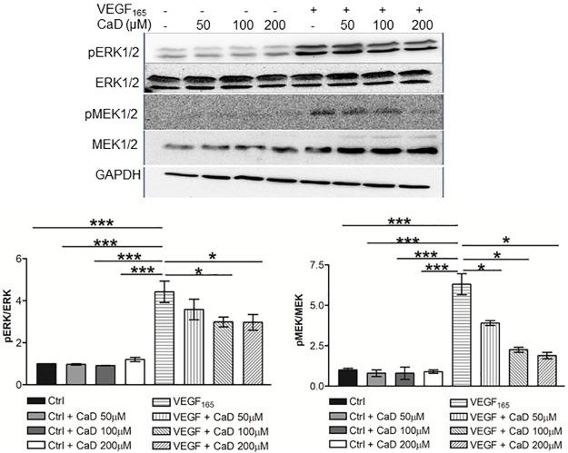 Calcium dobesilate (CaD) inhibits VEGF-induced MEK/ERK MAP kinase activation. CaD at 50, 100 and 200μM was incubated with VEGF (25 ng/mL) for 60 min before exposure to HUVECs for 15 min. Phosphorylated ERK and MEK1/2 was determined by Western blot as described in Figure 2. Data are expressed as mean ± SD (n = 3). * p